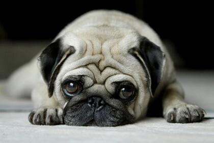 俏皮的QQ说说:再昂贵的狗粮,也抚平不了沙皮狗的忧伤